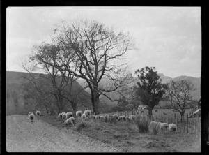 Sheep grazing beside road, Raorikia