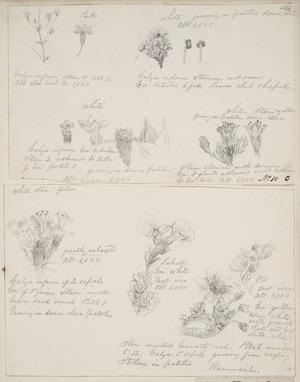 [Buchanan, John], 1819-1898 :[Alpine plants]. Rannuculus. [ca 1860s-1880s]