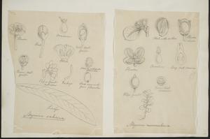 [Buchanan, John], 1819-1898 :[Two drawings. 1. Myrsine salicina; 2. Myrsine nummularia. ca 1863]