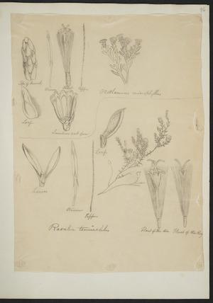 [Buchanan, John], 1819-1898 :Raoulia tenuicaulis. Ozothamnus microphyllus. [ca 1863]