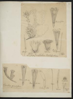 [Buchanan, John], 1819-1898 :[Two drawings. 1. Gnaphalium leontopodium; 2. Raoulia grandiflora. ca 1863]