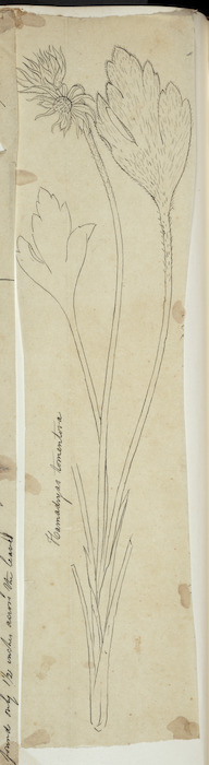 [Buchanan, John], 1819-1898 :Hamadryas tomentosa. [ca 1863]