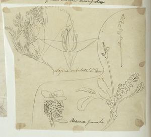 [Buchanan, John], 1819-1898 :Acaena pumila. Sagina subulata. D'Ur. [ca 1863]