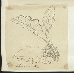 [Buchanan, John], 1819-1898 :Olearia forsterii. [ca 1863]