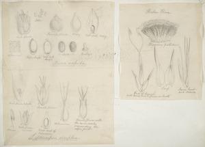 [Buchanan, John], 1819-1898 :[Two drawings. 1. Areca sapida. Leptocarpus simplex; 2. Alepyrum pallidum. Hookers flora. ca 1863]