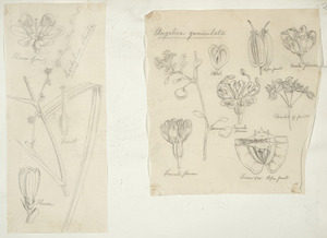 [Buchanan, John], 1819-1898 :[Two drawings. 1. Cordyline stricta; 2. Angelica geniculata. ca 1863]