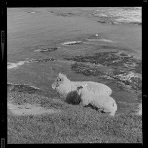 Sheep and lamb on steep hill, Kaikoura
