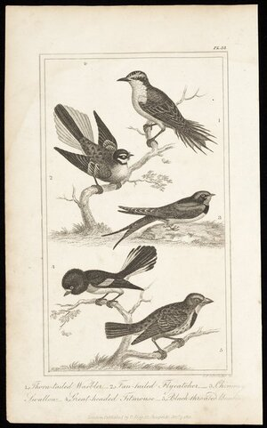 Schroeder, G F, fl 1821 :1. Thorn-tailed warbler; 2. Fan-tailed flycatcher; 3. Chimney Swallow; 4. Great-headed titmouse; 5. Black-throated bunting. Pl. 58. London, Published by T Tegg, 111 Cheapside, Decr 7, 1821