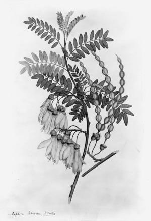Parkinson, Sydney, 1745-1771: Sophora tetraptera, J. Mill. [Sophora tetraptera (Leguminosae) - Plate 430]