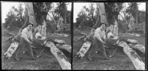 Unidentified man, sawing felled timber, Catlins, Otago