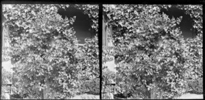 Ivy and clematis climbing on verandah [Viewbank?]