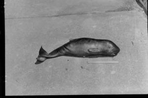 Whale fetus