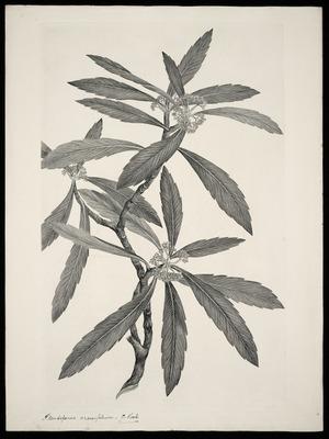 Parkinson, Sydney, 1745-1771: Pseudopanax crassifolium. C. Koch [Pseudopanax crassifolius (Araliaceae) - Plate 465]