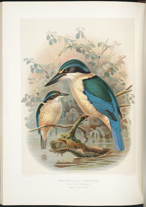 Keulemans, John Gerrard 1842-1912 :New Zealand kingfisher - Halcyon vagans (adult & young). / J G Keulemans delt. & lith. [Plate XIII]; [Judd & Co. Limited Imp. London 1888]