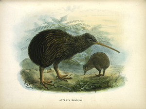Keulemans, John Gerrard, 1842-1912 :Apteryx Mantelli [North Island kiwi] London, 1873