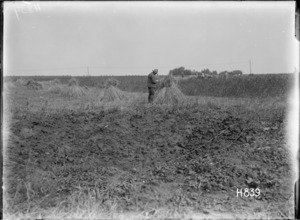 New Zealander inspecting a wheat crop in a field near the front line
