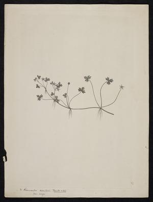 Parkinson, Sydney, 1745-1771: 3. Ranunculus rivularis, Banks & Sol var major [Ranunculus rivularis (Ranunculaceae) - Plate 405]