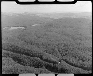 Pine plantations, Atiamuri, Taupo district