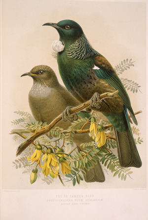 Keulemans, John Gerrard 1842-1912 :Tui or Parson bird - prosthemadera novae-zealandiae (adult and young). / J. G. Keulemans delt. & lith. [Plate X. 1888].